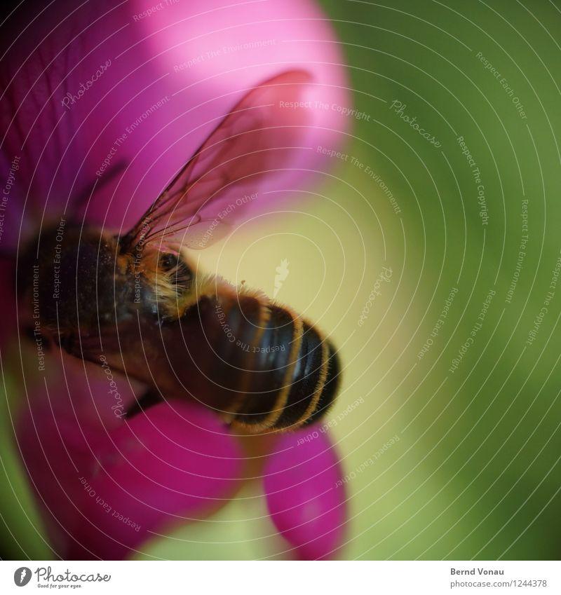 auf arbeit Garten Arbeit & Erwerbstätigkeit Pflanze Blüte Behaarung Biene Flügel klein grün rosa schwarz Insekt ansammeln Honig Nektar Pollen durchsichtig