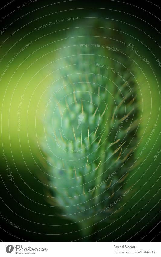 Kapsel Natur Pflanze Blume grün schwarz Mohnkapsel Oval fein geschlossen Wachstum Behaarung Farbfoto Außenaufnahme Makroaufnahme Experiment Menschenleer Tag
