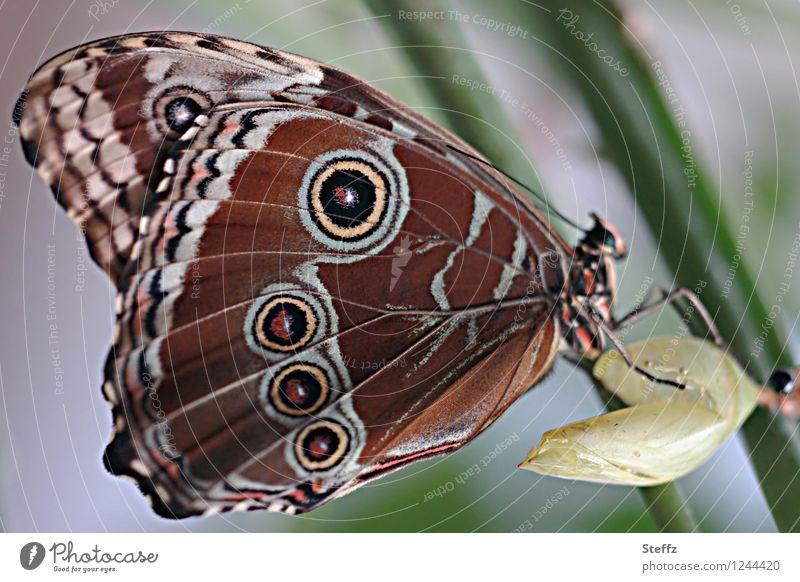junger exotischer Schmetterling Blauer Morphofalter Morpho peleides geschlüpft Flügelmuster Flügelunterseite Schmetterlingsflügel tropischer Schmetterling