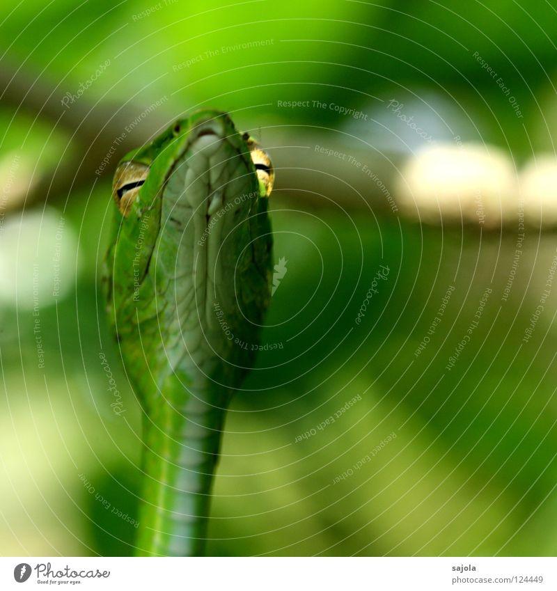 glühende augen Tier Baum Schlange grün Natter Reptil Singapore Asien Schlitz Schlüsselloch peitschennatter Scheune Gift Botanischer Garten Nahaufnahme