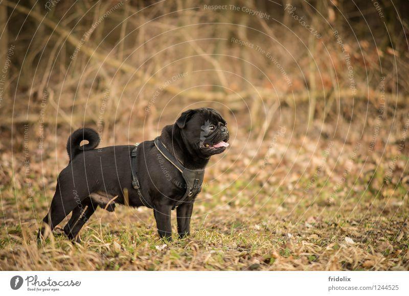 Mops Posing Hund Natur schön Erholung Freude Tier schwarz natürlich Sport Stimmung Freundschaft träumen Zufriedenheit Dekoration & Verzierung elegant ästhetisch