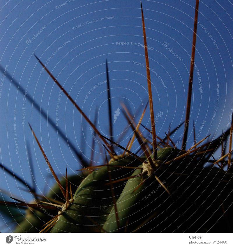 natürliche Phalanx Kaktus stachelig Pflanze Wüstenpflanze Stachel Cactoideae