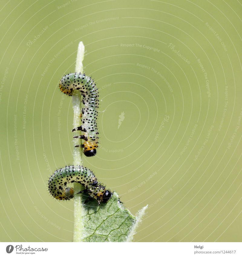 Fressfeinde... Umwelt Natur Pflanze Tier Sommer Sträucher Blatt Garten Wildtier Raupe 2 Tierjunges Fressen authentisch Ekel einzigartig klein natürlich gelb