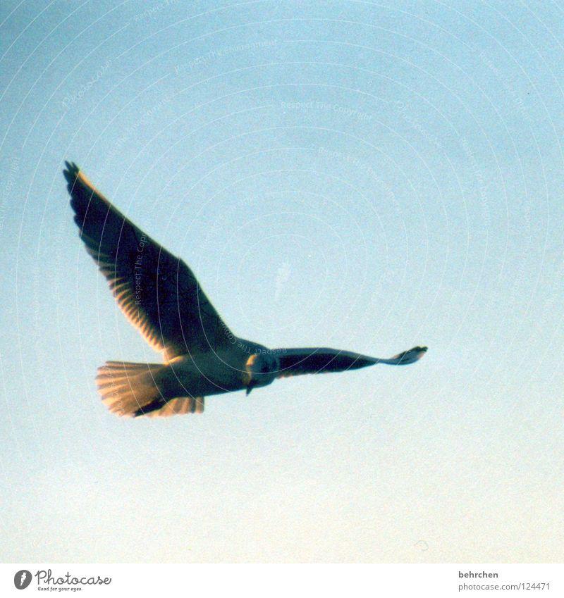 und wieder eine möwe... Möwe Vogel Strand Meer Küste Ostsee sonneschein Himmel Feder fliegen Freiheit Flügel blau