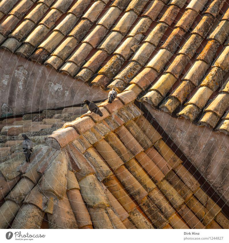 Dachbewohner Tier Wildtier Taube 3 Tiergruppe braun gelb gold stagnierend Symmetrie Tourismus Tradition Dachfirst Dachziegel Altstadt alt Altbau historisch