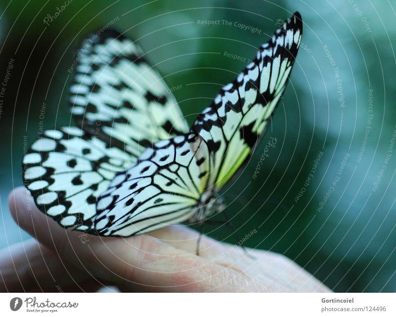 Schmetterviech III Schmetterling Insekt Tier Natur Hand Mensch Haut Glück Rüssel Nektar fliegen Flügel Fühler Beine Blume Stengel flattern fein filigran leicht