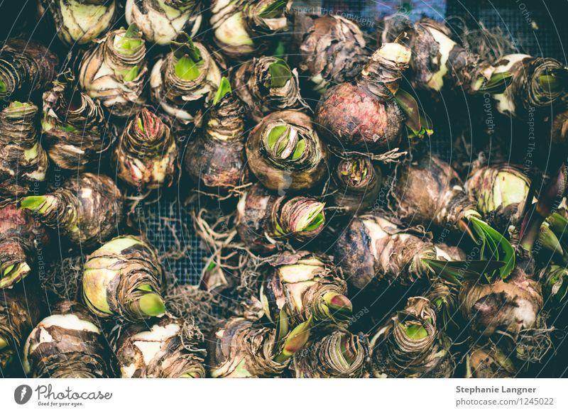 Amaryllis Knollen Natur Pflanze Wachstum gedeihen Knollengewächse Zwiebel Frühling Frühlingsgefühle Garten grün Grünpflanze Farbfoto Detailaufnahme Menschenleer