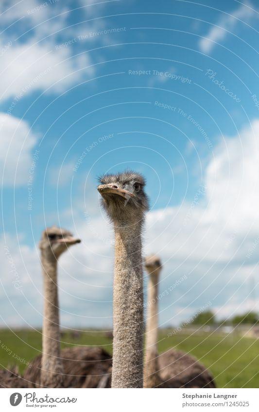 Strauß Tier Flügel Tiergesicht Zoo Stolz Nutztier Strauß
