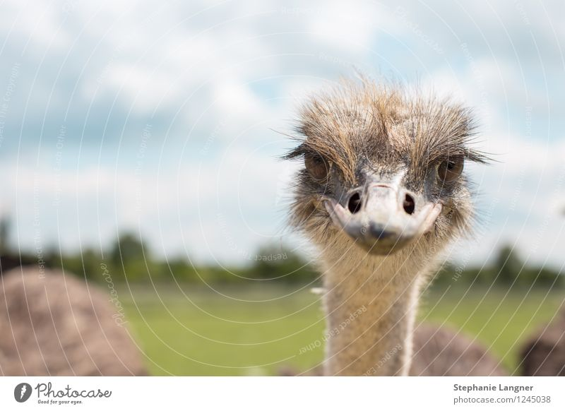 Strauß Nutztier Vogelstrauß Blick Neugier Misstrauen zynisch lachen Farbfoto Menschenleer Textfreiraum links Tag Zentralperspektive Tierporträt