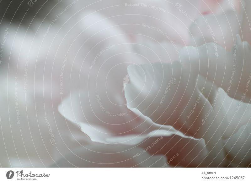 White blossom Natur Pflanze schön Sommer weiß Blume ruhig Frühling Blüte Garten Lifestyle hell rosa Design ästhetisch Blühend