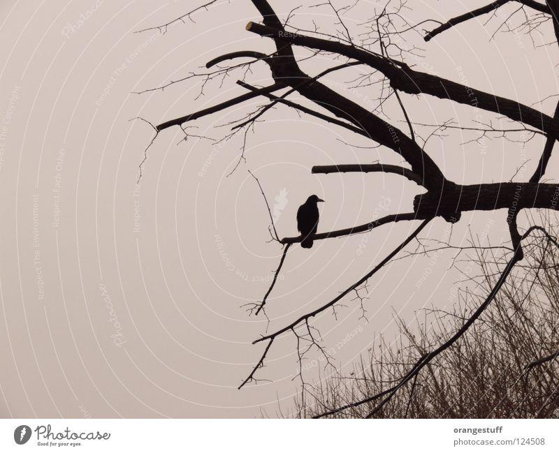 Krah. Mein Ast. Baum Winter ruhig Vogel Ast Krähe