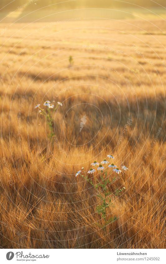 Kamillchen Natur Pflanze grün schön Sommer weiß Erholung ruhig schwarz gelb Wärme natürlich klein Stimmung Feld leuchten