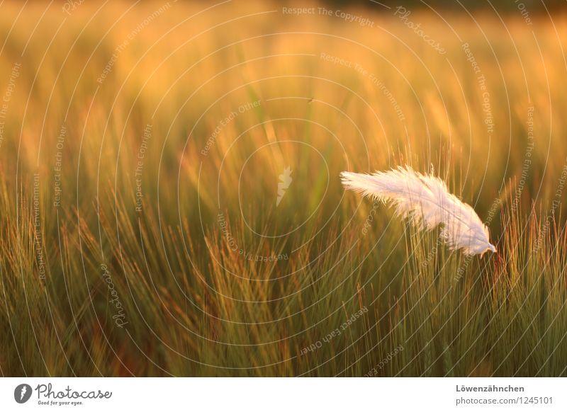 federleicht Natur Sommer Pflanze Gerstenfeld Feld Feder leuchten ästhetisch hell klein schön weich gelb grün orange weiß Stimmung Neugier entdecken Farbe