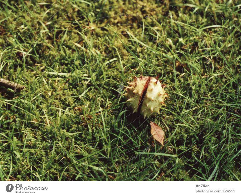 1 Akt grün Herbst Gras Bodenbelag Stachel Kastanienbaum