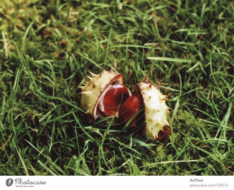 2 Akt Herbst Gras grün Kastanienbaum Bodenbelag Stachel Cupula