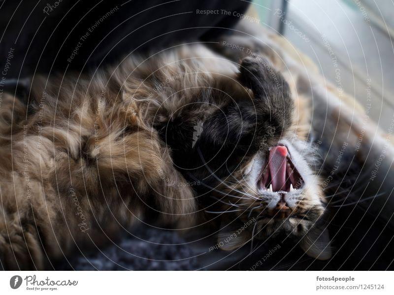 Maine Coon Katze Haare & Frisuren Haustier Erholung kuschlig lustig braun Zufriedenheit Lebensfreude Geborgenheit Sympathie Tierliebe Gelassenheit Gebiss Zähne