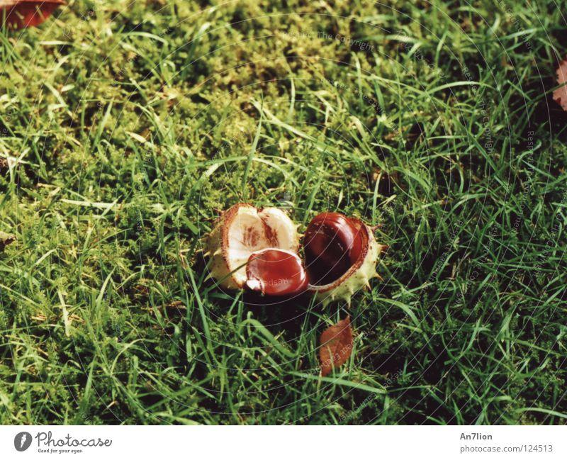 3 Akt grün Herbst Gras Bodenbelag Stachel Kastanienbaum