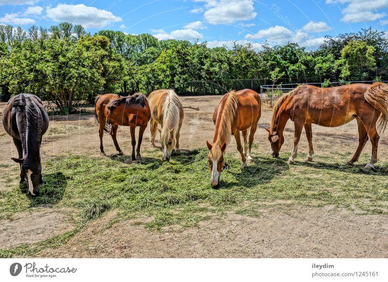 Gruppe Pferde Himmel Wolken Sommer Schönes Wetter Tier Nutztier Wildtier Fell Zoo Tiergruppe Herde Essen füttern Zusammensein blau braun mehrfarbig gold grün