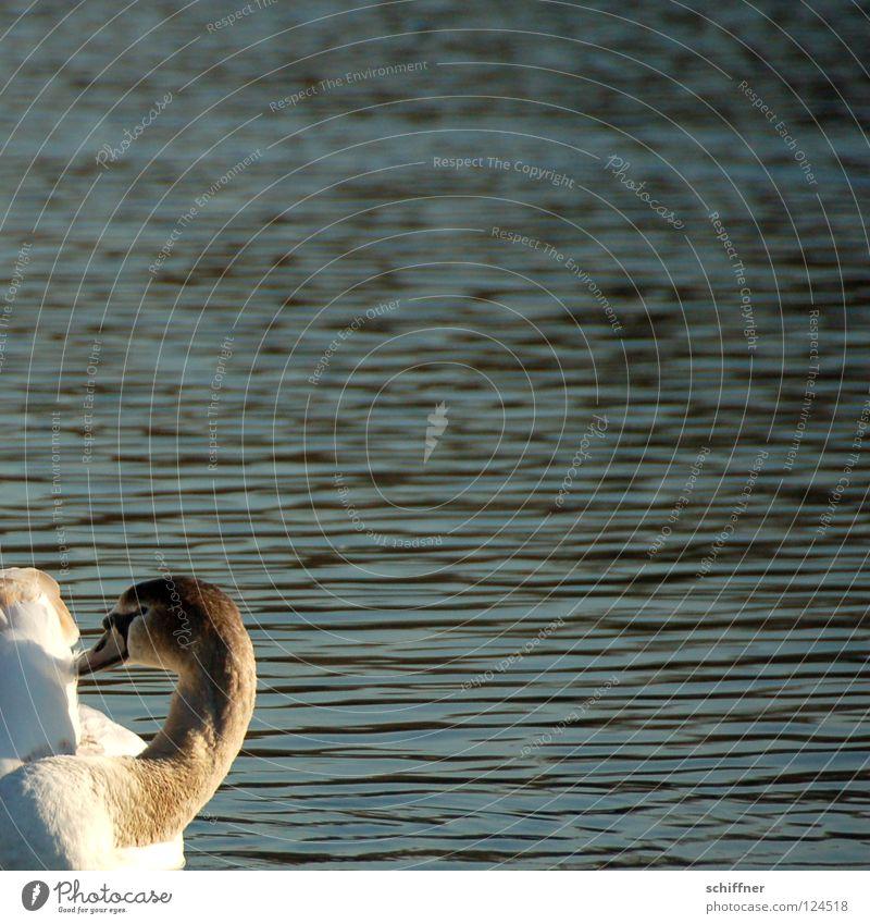 Geschnitten, nicht am Stück Schwan Schwanensee Vogel Reinigen Schnabel Feder See Teich Wellen weiß grau ja noch son Vieh gibt ja so wenige hier junger Schwan