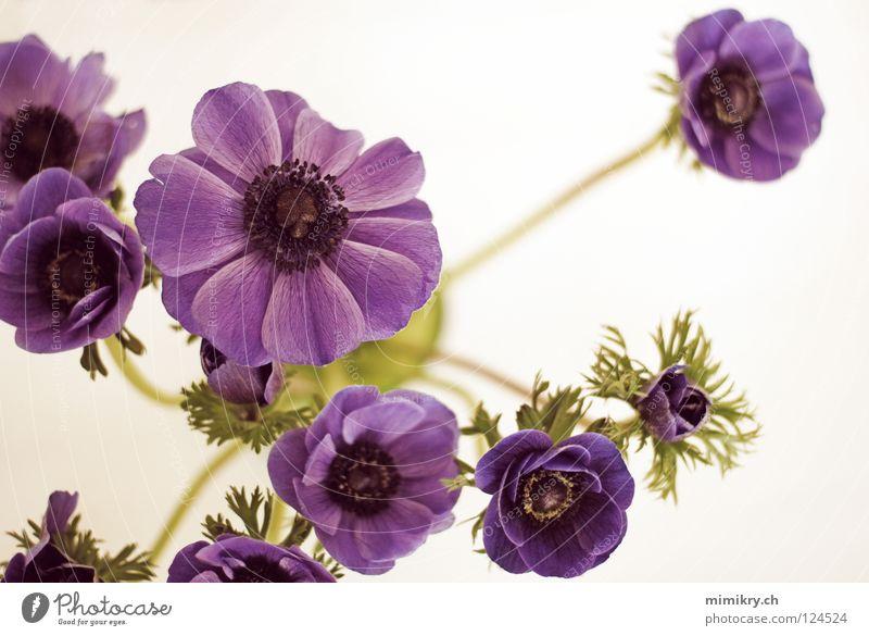 Anemonen Blume Frühling Blumenstrauß violett Frühlingsblume Dekoration & Verzierung schnittblume blau