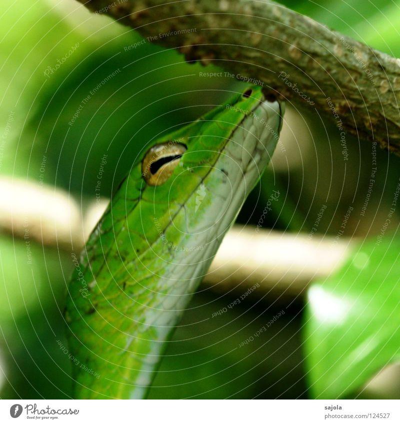 baumkuss Tier Baum Schlange grün Natter Reptil Rückzug Singapore Asien Schlitz peitschennatter Gift Botanischer Garten Farbfoto Außenaufnahme Nahaufnahme