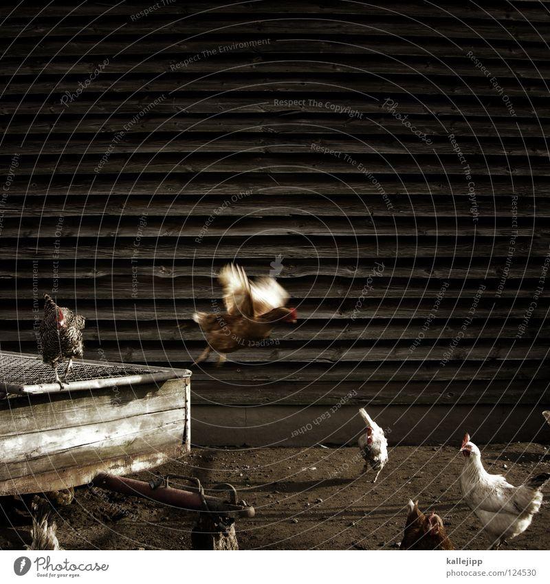 weckdienst Hahn Haushuhn Feder Vogel Tier Bauernhof Landwirtschaft Legehenne Nutztier Legebatterie kratzen maskulin Fressen lecker Billig Grill Vogelgrippe