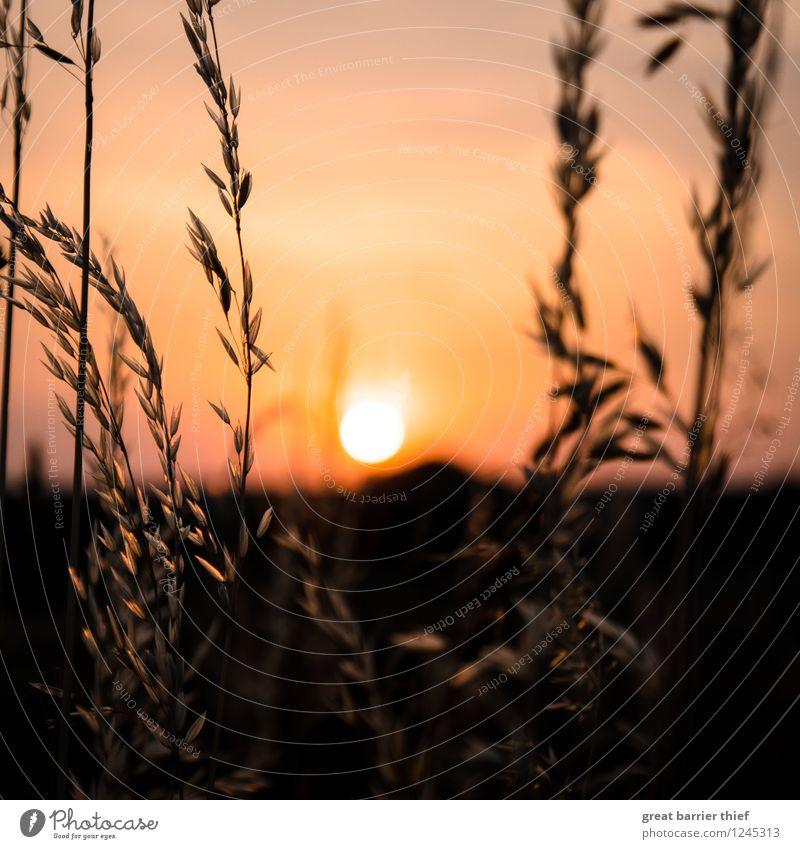 Sonnenuntergang im Getreidefeld Umwelt Natur Landschaft Tier Himmel Wolkenloser Himmel Sonnenaufgang Sonnenlicht Sommer Wetter Schönes Wetter Pflanze