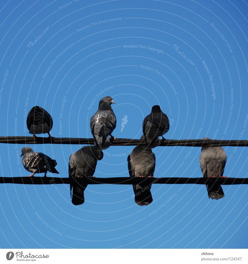 Ab in den Süden Erholung Vogel warten sitzen mehrere Elektrizität Information Taube Hochspannungsleitung ruhen Zusteller Plage Brieftaube