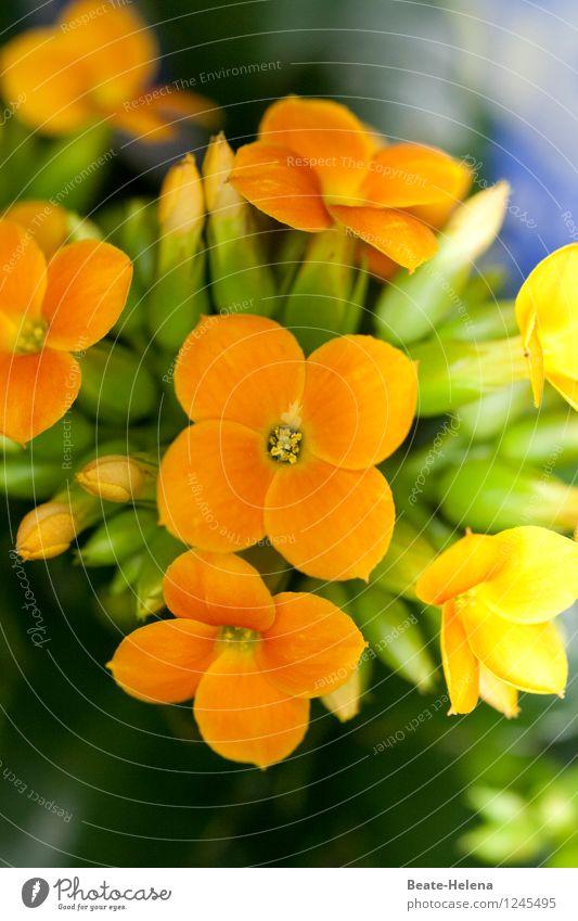 Sommerfrische Natur Pflanze Blüte Blühend leuchten ästhetisch Freundlichkeit gelb grün Warmherzigkeit Farbe Blütenpflanze Blütenknospen Blütenkelch sommerlich