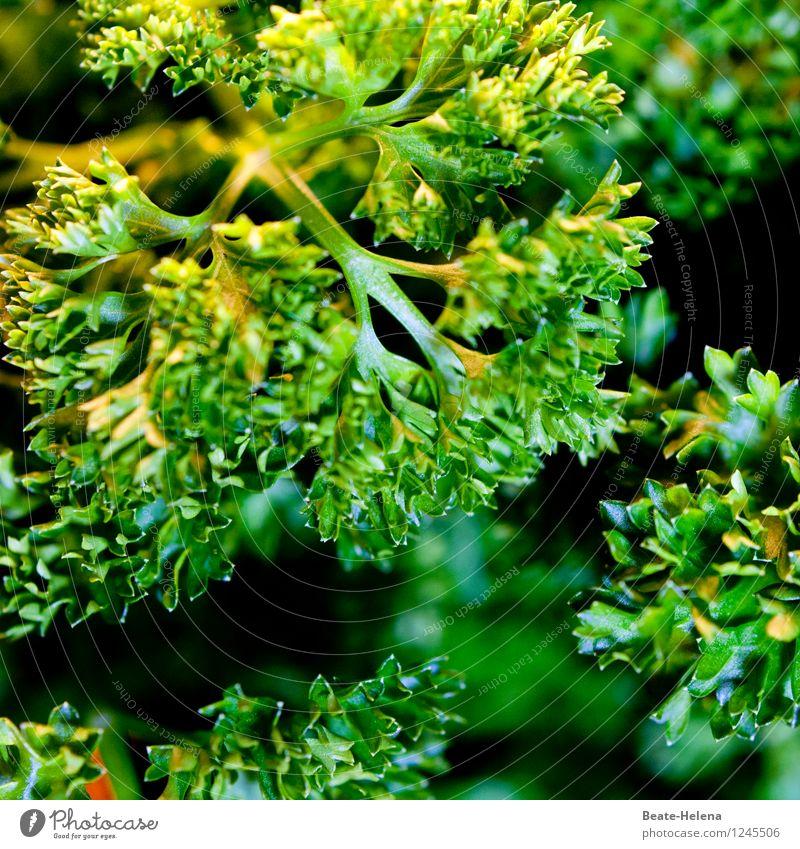 Im dichten Petersiliendschungel Lebensmittel Kräuter & Gewürze Ernährung Vegetarische Ernährung Natur Pflanze Garten Essen genießen frisch Gesundheit grün