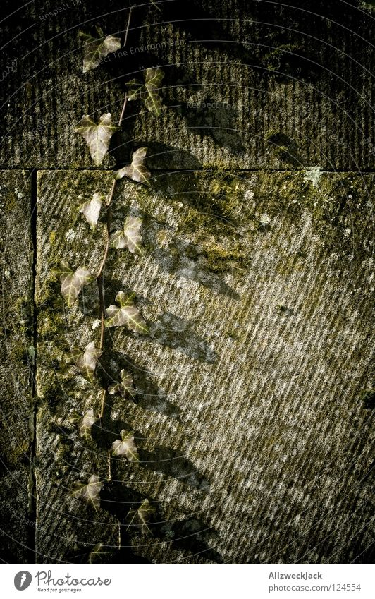 hedera helix Efeu Pflanze Wand Sandstein Wachstum grün Blatt Herbst rankeln Stein hochrankeln runterrankeln Natur