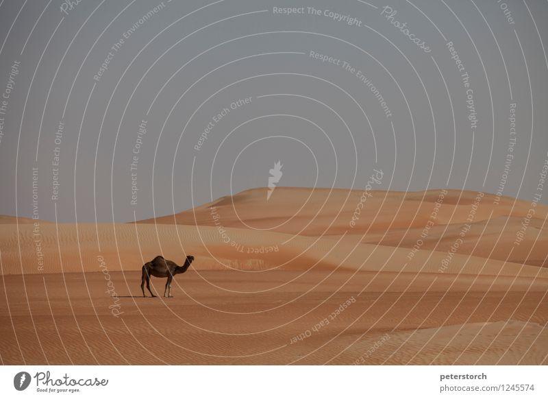 das einsame Kamel Ferien & Urlaub & Reisen Ferne Landschaft Sand Wolkenloser Himmel Wüste Nutztier Dromedar 1 Tier frei Unendlichkeit heiß ruhig Fernweh