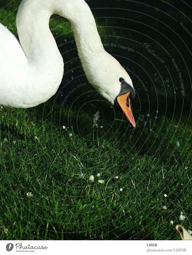Schwanenhals Natur Wasser schön weiß grün schwarz Tier Wiese Gras See orange Vogel Wellen elegant Suche Ausflug