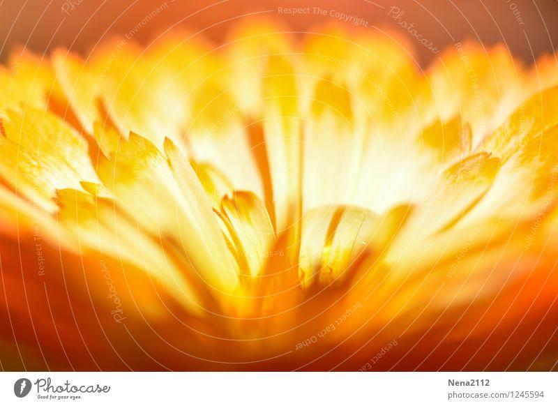 Feuerblume III Natur Pflanze Sommer Blume Umwelt gelb Wärme Blüte Liebe Garten Park orange gold ästhetisch trocken heiß