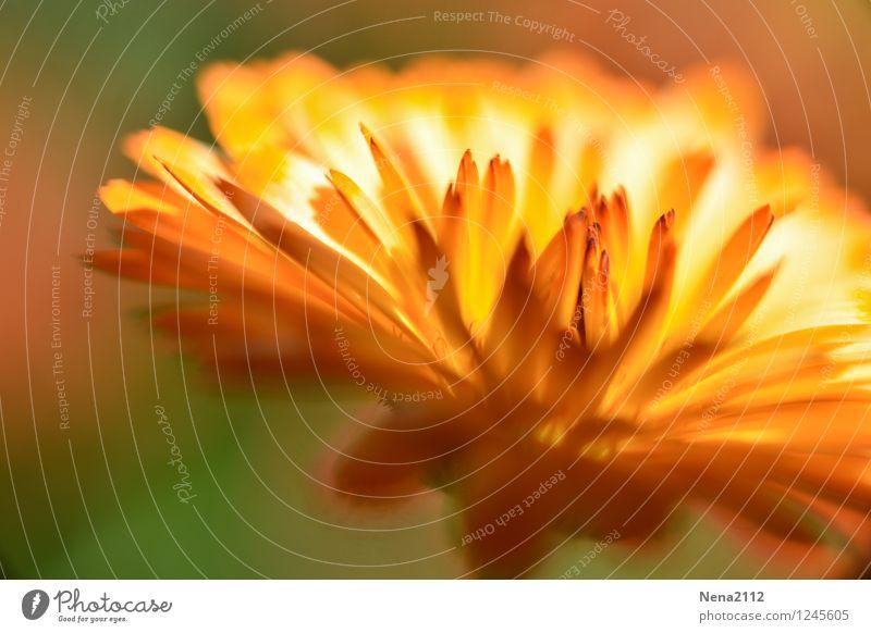 Feuerblume II Umwelt Natur Pflanze Sommer Blume Blüte Garten Park ästhetisch heiß trocken Wärme gelb gold orange Trockenblume Liebe Farbfoto Außenaufnahme
