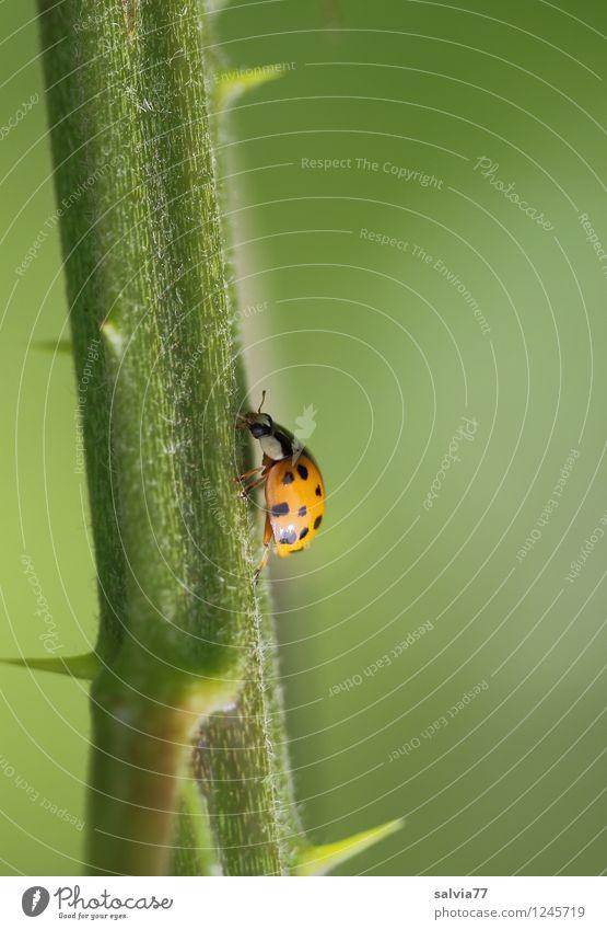 steiler Weg Natur Pflanze Tier Sommer Rose Grünpflanze Wildpflanze Wildtier Käfer Marienkäfer Insekt 1 festhalten krabbeln frech frei klein natürlich stachelig