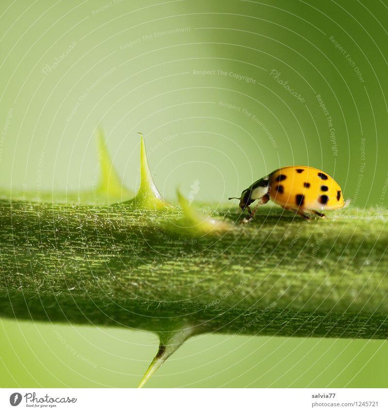 Hindernislauf Umwelt Natur Pflanze Tier Sommer Rose Grünpflanze Wildpflanze Wildtier Käfer Marienkäfer Insekt 1 Bewegung krabbeln Sport klein natürlich Spitze