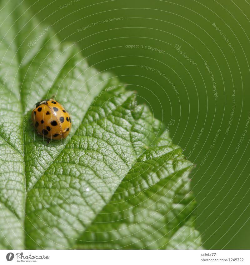 Sonnenseite Umwelt Natur Pflanze Tier Frühling Sommer Blatt Grünpflanze Käfer Marienkäfer Insekt 1 genießen krabbeln sitzen authentisch einfach klein natürlich
