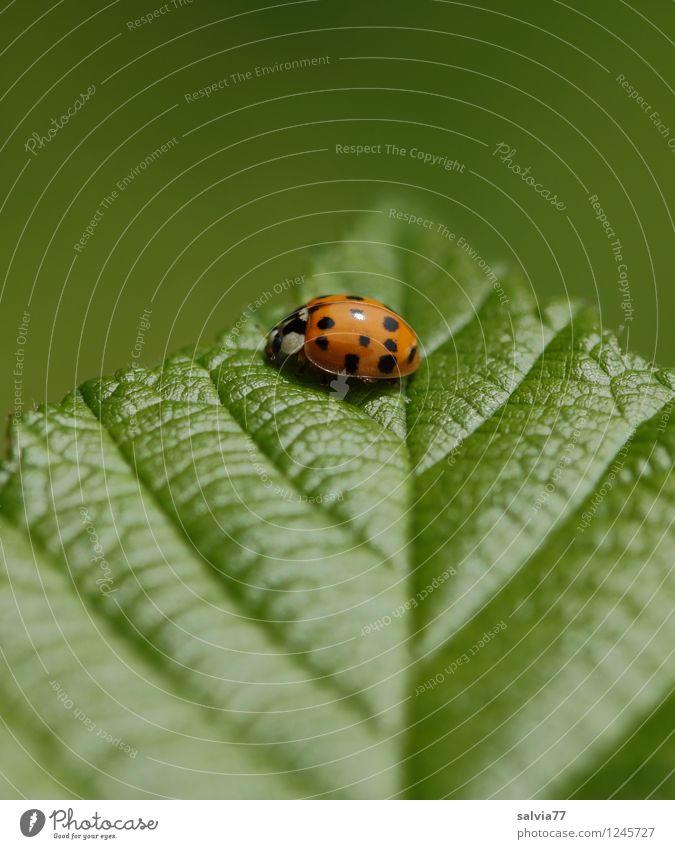 obenauf Umwelt Natur Pflanze Tier Frühling Sommer Blatt Grünpflanze Blattadern Blattgrün Käfer Marienkäfer Insekt 1 berühren krabbeln sitzen Freundlichkeit