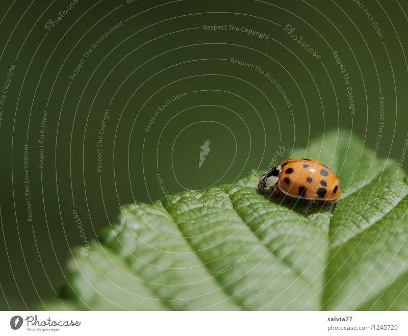 an der Spitze Umwelt Natur Pflanze Tier Frühling Sommer Blatt Grünpflanze Blattgrün Blattadern Käfer Marienkäfer Insekt 1 krabbeln sitzen ästhetisch frei frisch