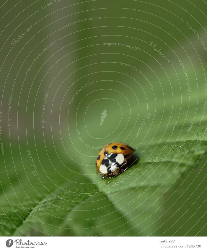 Schräglage Natur Pflanze Tier Frühling Sommer Blatt Grünpflanze Wildpflanze Wildtier Käfer Marienkäfer Insekt 1 krabbeln sitzen frei Glück klein natürlich