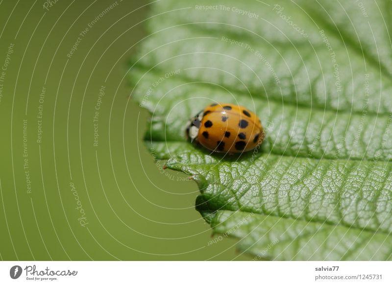 am Blattrand Natur Pflanze grün Sommer Blatt ruhig Tier Umwelt Frühling Glück klein glänzend orange frisch Wildtier sitzen