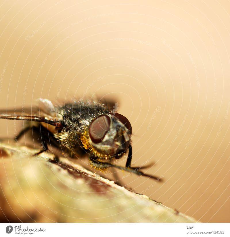 Die Fliege klein fliegen Luftverkehr Flügel Reinigen Insekt krabbeln beige Biologie Stechmücke Plage Facettenauge Plagegeist