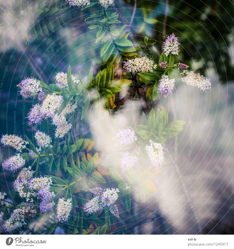 jstnghplntfrmlknggngn elegant Gesundheit harmonisch Sommer Garten Umwelt Natur Pflanze Himmel Wolken Blume Sträucher Glas Duft exotisch frisch schön natürlich