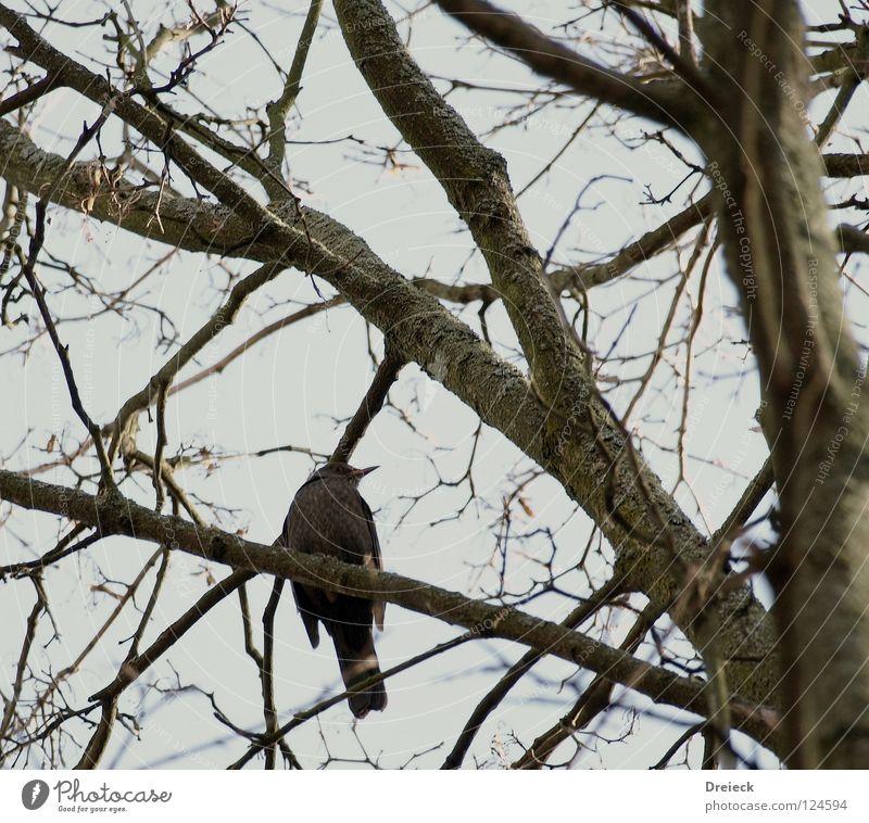 (K)ein Vogel Luft gefiedert Schnabel dunkel braun Tier Baum Sträucher Blatt Baumkrone Himmel fliegen Feder Schönes Wetter Schönwetter blau Natur Landschaft Ast