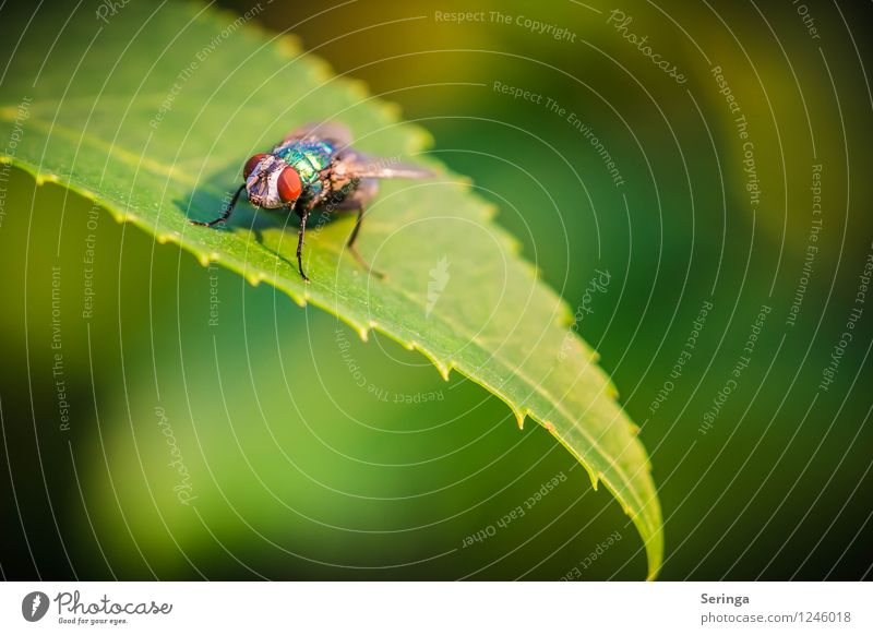 Billigflieger Pflanze Tier Sommer Garten Park Fliege Tiergesicht 1 fliegen Farbfoto Außenaufnahme Nahaufnahme Detailaufnahme Makroaufnahme