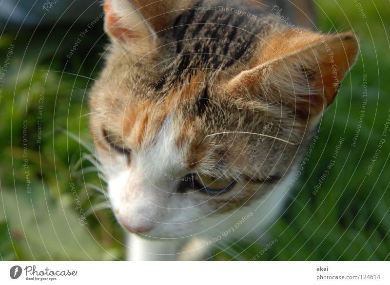 Katze Tier Hauskatze Futter Fressen Haushuhn Wachsamkeit Kontrolle Jäger Jagd krumm Angst Spielen Säugetier Opfer Lebensmittel Vorsicht akai jörg joerg Blick
