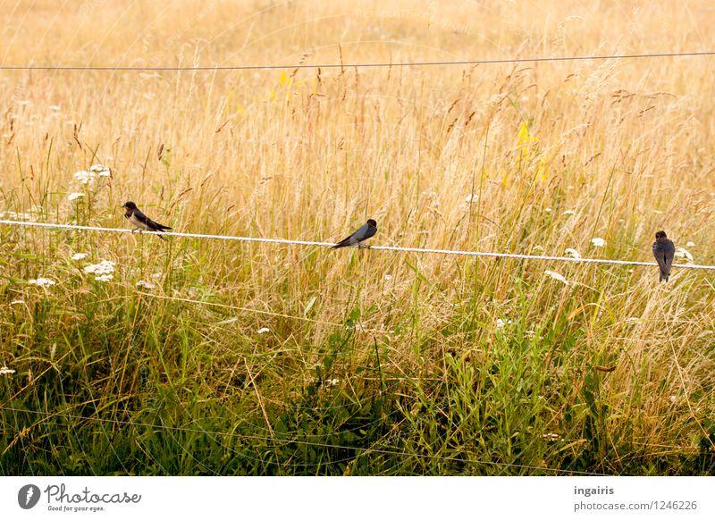 Rauchschwalben auf E-zaun Natur Pflanze Grasland Wiese Feld Tier Vogel 3 Zaun Elektrozaun Metall Brunft hocken Spielen Freundlichkeit Zusammensein braun gelb