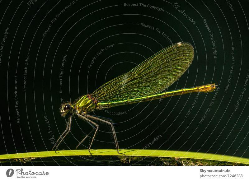Libelle auf Halm Natur grün Tier Wald schwarz Umwelt Wiese Küste Garten See Park Wetter Feld Wildtier Flügel Klima