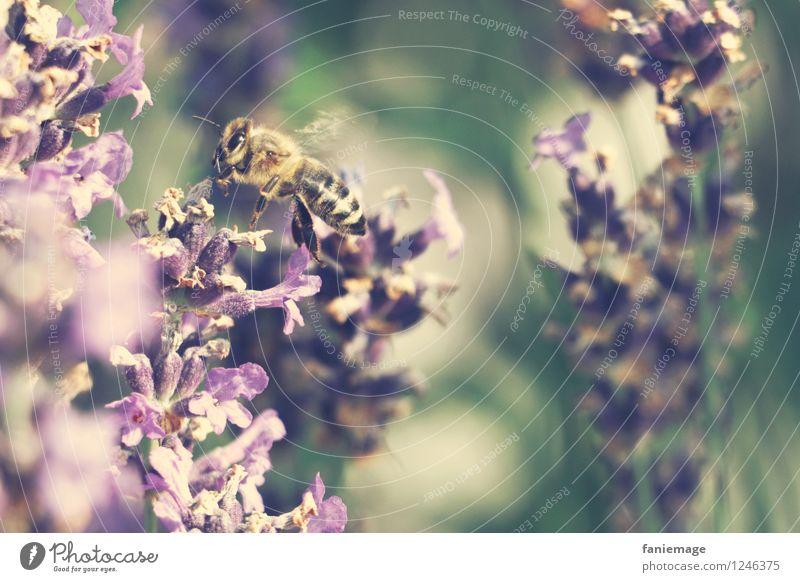 Honiglieferant Natur Sommer Schönes Wetter Wärme Blüte Garten Park Wiese fliegen Flugzeuglandung Biene Lavendel Lavendelfeld Duft Honigbiene violett grün